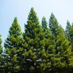 Native Michigan Trees